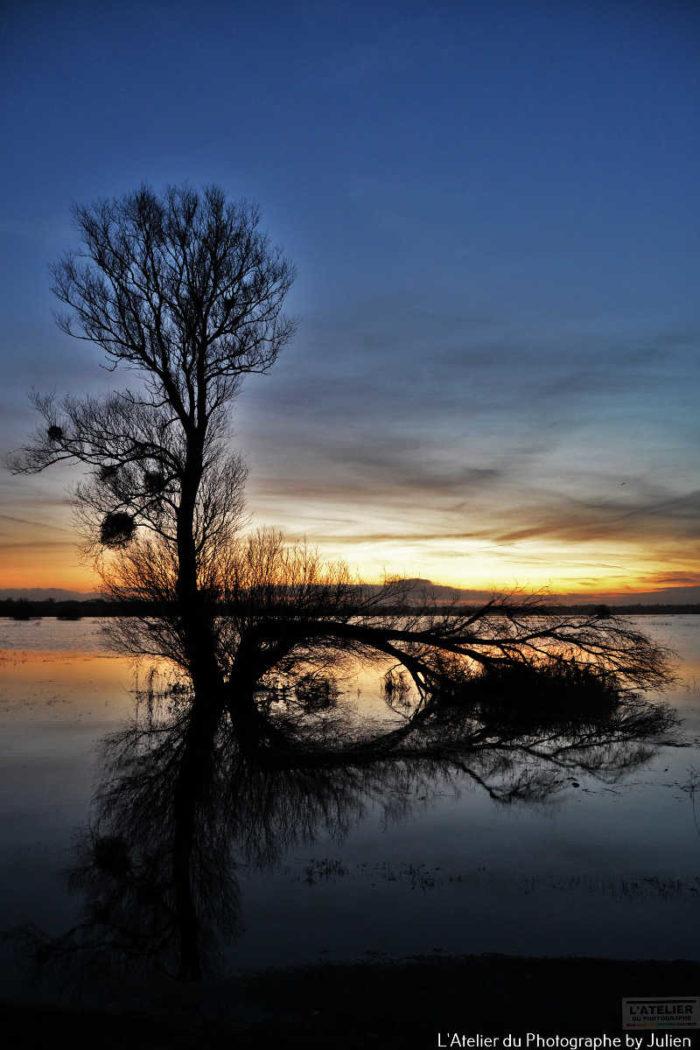 Le peuplier des marais dans le parc des marais du Cotentin